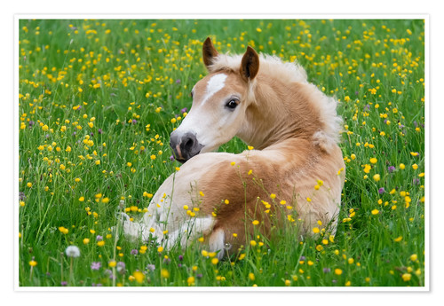 Premium poster Haflinger horse, a cute foal resting in a flowering meadow