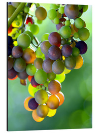 Aluminium print  wine grapes - GUGIGEI