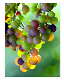Premium poster wine grapes
