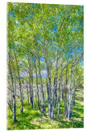 Acrylic glass  Birches - Jürgen Klust