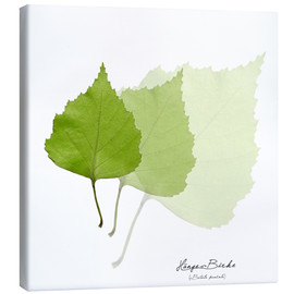 Canvas print  Collage with leaves of the birch - Christian Müringer