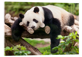 Acrylic print  Giant panda sleeping - Jan Christopher Becke