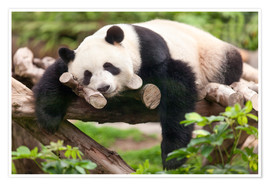 Premium poster  Giant panda sleeping - Jan Christopher Becke