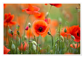 Poster  Poppies 21 - Nailia Schwarz