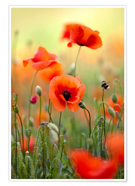 Poster  Poppies 22 - Nailia Schwarz