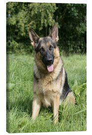 Canvas  German Shepherd - Greg Cuddiford