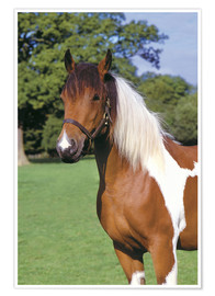 Premium poster Brown and white piebald horse
