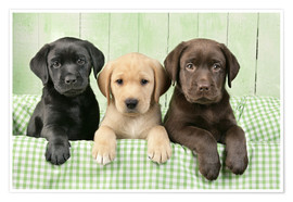 Premium poster  Three Labradors - Greg Cuddiford