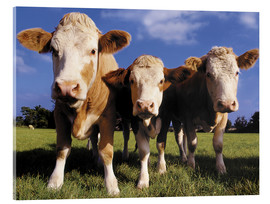 Acrylic print  Three cows - Greg Cuddiford