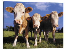 Canvas print  Three cows - Greg Cuddiford