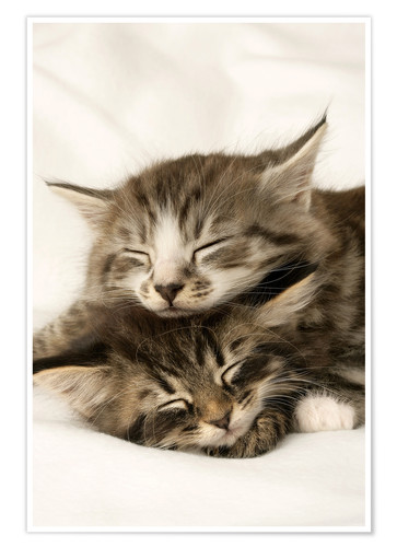 Premium poster Two cats sleeping