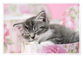 Premium poster Sleeping grey kitten