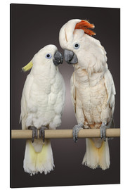 Aluminium print  Cockatoo love - Greg Cuddiford
