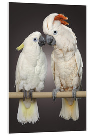 Forex  Cockatoo love - Greg Cuddiford