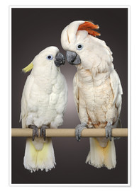 Premium poster  Cockatoo love - Greg Cuddiford