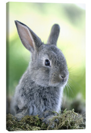 Canvas  Grey rabbit - Greg Cuddiford