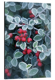 Alu-Dibond  Berries of Holly - Simon Kayne