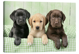 Canvas  Labrador puppies - Greg Cuddiford