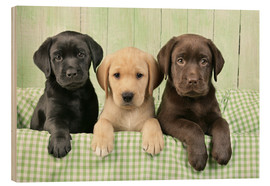 Greg Cuddiford - Labrador puppies