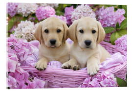 Acrylic glass  Labrador puppies in a basket - Greg Cuddiford