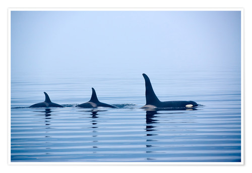 Premium poster Three Killer whales with huge dorsal fins