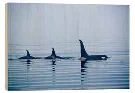 Wood print  Three Killer whales with huge dorsal fins - Jürgen Ritterbach