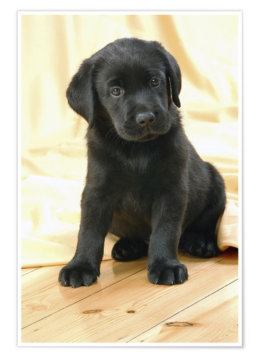 Black Labrador Puppy Posters And Prints Posterlounge Co Uk