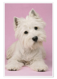 Premium poster White Terrier on pink background