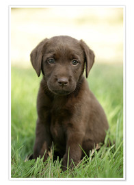 Premium poster Labrador pup on grass