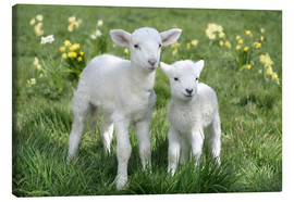 Canvas print  Easter lambs - Greg Cuddiford