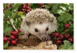 Poster  Hedgehog with berries - Greg Cuddiford