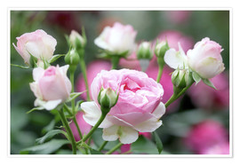 Premium poster Beauty of the Rose
