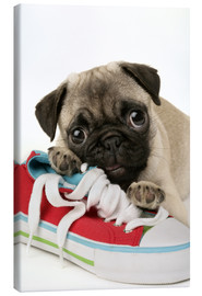 Greg Cuddiford - Pug pup and shoe
