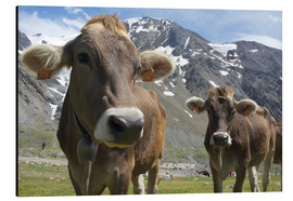 Aluminium print  Alpine cows in the mountains - Michele Molinari
