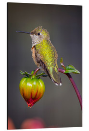 Aluminium print  Hummingbird sits on flower bud - Fred Lord