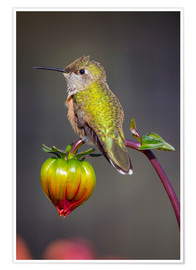 Premium poster  Hummingbird sits on flower bud - Fred Lord
