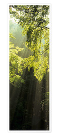 Premium poster  Sunbeams in a forest - Markus Lange