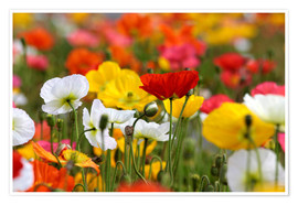 Premium poster  Colorful poopies at Government Gardens (new Zealand) - Christian Müringer