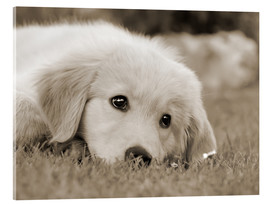 Acrylic print  Golden Retriever cute puppy, monochrom - Katho Menden