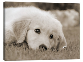 Canvas print  Golden Retriever cute puppy, monochrom - Katho Menden