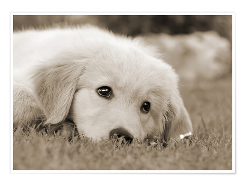 Premium poster Golden Retriever cute puppy, monochrom