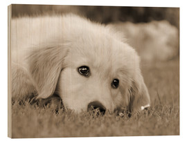 Wood print  Golden Retriever cute puppy, monochrom - Katho Menden