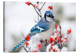 Canvas print  Blue jay on winter berry branch - Richard and Susan Day