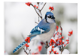 Foam board print  Blue jay on winter berry branch - Richard and Susan Day