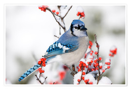 Premium poster  Blue jay on winter berry branch - Richard and Susan Day