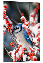 Acrylic print  Blue jay on a winter berry - Richard and Susan Day