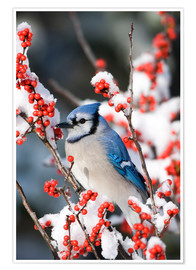 Premium poster  Blue jay on a winter berry - Richard and Susan Day