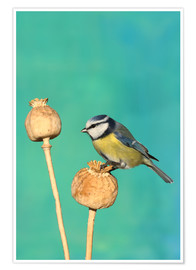 Poster Blue Tit on poppy
