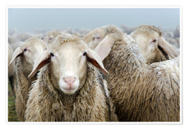 Premium poster Flock of sheep