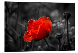 Acrylic glass  Red poppy on black and white background - Julia Delgado